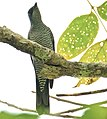 Andaman Cuckoo Shrike.jpg