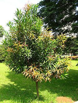 Resultado de imagen de Carapa (planta)