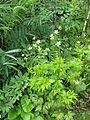 Anemone rupestris - Flickr - peganum.jpg