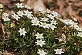 Anemones - kvitveis - hvitveis - 15.JPG