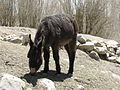 Animal in Leh (Friar's Balsam Flickr).jpg