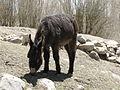 Animal in Leh (Friar's Balsam Flickr).jpg