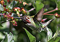 Anna's Hummingbird - Male, In Flight.JPG