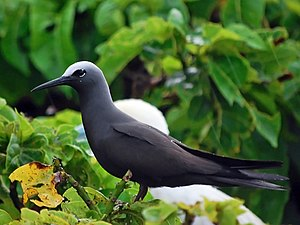 Black noddy - A black noddy at the Tubbataha Reef National Park in the Philippines.