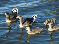Anser anser -Utterslev Mose, Denmark -parents and goslings-8 (2).jpg