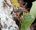 Ant, Harvester (239162037).jpg