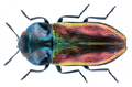 Anthaxia fulgurans (Schrank, 1789) Female.png