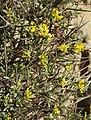 Anthyllis hermanniae RF.jpg