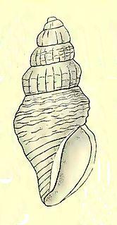 <i>Antiguraleus mundus</i> Species of gastropod