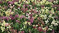 Antirrhinum from Lalbagh flower show Aug 2013 8388.JPG