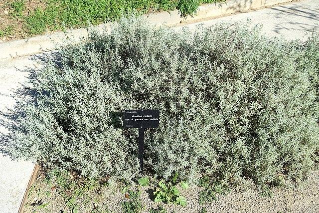 File anvillea garcinii subsp radiata jard n bot nico de for Barcelona jardin botanico