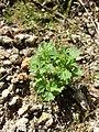 Aphanes australis sl14.jpg