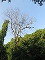 Apis dorsata - Giant honey bee on Tetrameles nudiflora on Makuta Virajpet road (19).jpg