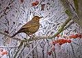 Apple tree's bird (3065416409).jpg