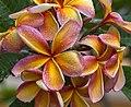 Apricot Frangipani-01 (16442693566).jpg