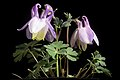 Aquilegia sp. (affinity flabellata var. pumila) (51165177876).jpg