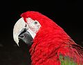 Ara chloroptera -The Parrot Zoo, Friskney, Lincolnshire, England-8a.jpg
