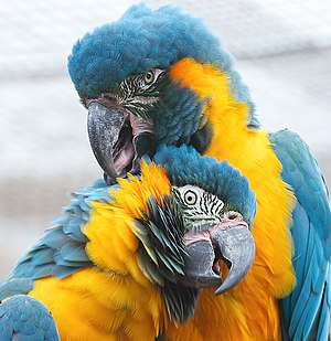 Blue-throated macaw - Image: Ara glaucogularis Chester Zoo upper body 8b