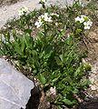 Arabis alpina a1.jpg