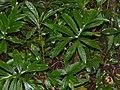 Araceae (Lasia spinosa) (15571728295).jpg