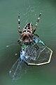 Araneus diadematus Ischnura elegans.JPG