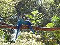 Araras no parque das Aves.JPG