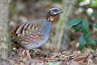 Rufous-throated partridge - Image: Arborophila rufogularis Doi Inthanon
