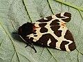Arctia caja - Great tiger moth - Медведица кая (40819081912).jpg