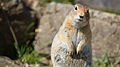 Arctic Ground Squirrel (7980887992).jpg