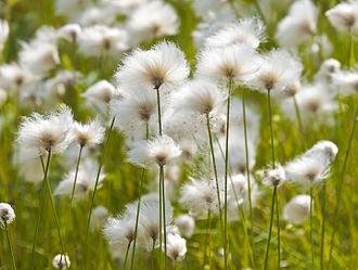 Eriophorum callitrix - Arctic cottongrass growing near Inuvik, Canada