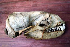 Brown fur seal - Skull of male brown fur seal