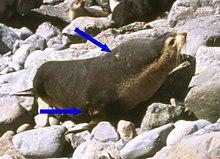 un mâle qui porte deux cicatrices sur le cou et le membre antérieur droit