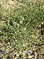 Arenaria serpyllifolia (s. str.) sl30.jpg