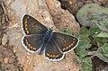 Aricia artaxerxes - Çokgözlü orman esmeri 02.jpg