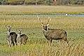 Arne RSPB reserve Sika Deer - geograph.org.uk - 292554.jpg