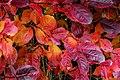 Aronia leaves on a rainy autumn day in Tuntorp 8.jpg