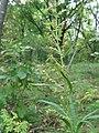 Artemisia rubripes 51201247.jpg