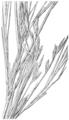 Arundinaria gigantea HC-1935.png