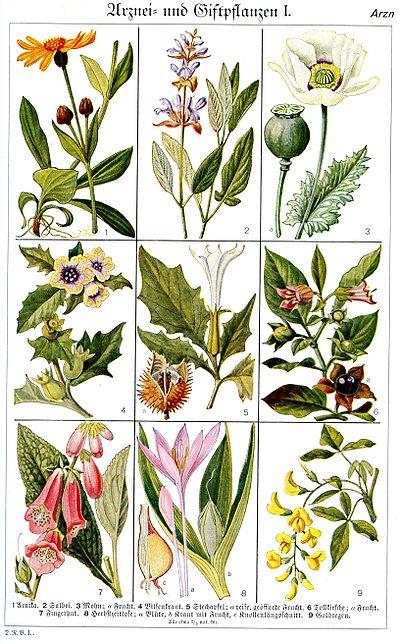 Arzneipflanzen Im Brockhaus Aus Dem Jahr 1937