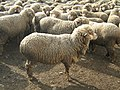 Ascanian sheep 2.jpg