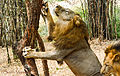 Asiatic lion.jpg