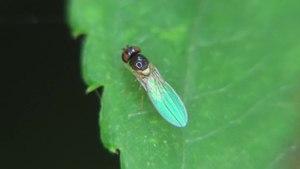 File:Asteia amoena - 2012-08-24.ogv