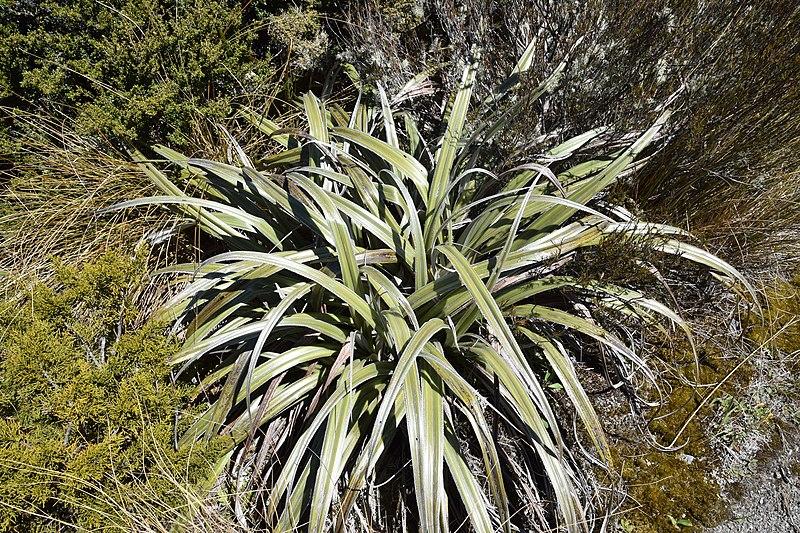 File:Astelia nivicola in Lewis Pass Scenic Reserve 07.jpg