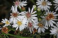 Aster - Symphyotrichum species, Occoquan Regional Park, Lorton, Virginia (45402720352).jpg