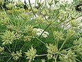 Athamanta cretensis 918.JPG