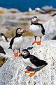 Atlantic puffin (27971295181).jpg