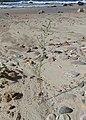 Atriplex littoralis kz07.jpg