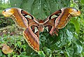 Attacus atlas with a wing gone 02.JPG