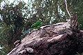 Australian Ringneck, Perth.jpg