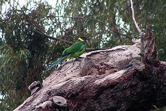 Australian ringneck - B. z. semitorquatus, Perth, Western Australia